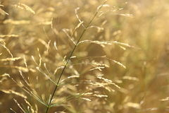 Yellow grass for background Stock Photography