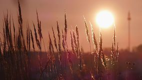 Yellow grass on a background sunset. stock video footage