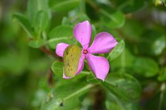 Yellow Grass butterfly sucks nectar from a beautiful Pink Periwinkle flower in Thailand Stock Images