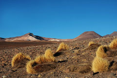 Yellow grass in the desert. In bolivia Stock Image