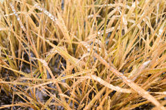 Yellow grass with droplet Royalty Free Stock Photography
