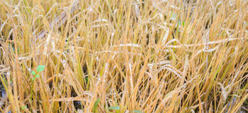 Yellow grass with droplet Royalty Free Stock Photos