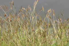 Yellow Grass Stock Image