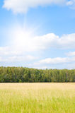 Yellow grass field near forest edge. Royalty Free Stock Photo