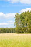 Yellow grass field near forest edge. Stock Images