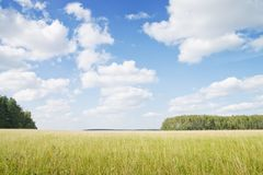Yellow grass field near forest edge. Royalty Free Stock Images