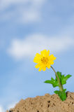 Yellow grass flower. One yellow grass flower on sky background Royalty Free Stock Images