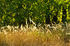 Yellow grass and green trees Royalty Free Stock Image