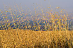 Yellow grass. Yellow herbs dried on a sunny day Stock Image