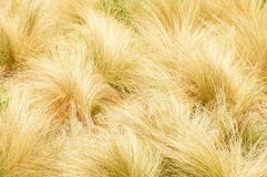 Yellow grass. Yellow long-steamed grass background Stock Photography