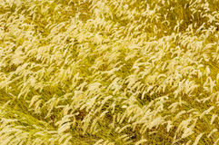 Yellow grass Royalty Free Stock Photo