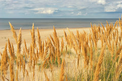 Yellow grass on the sandy beach of the Baltic Sea Stock Photography