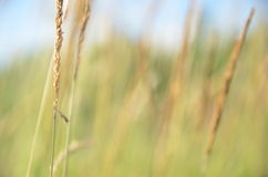 Yellow grass sedge Royalty Free Stock Photography