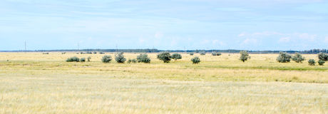 Yellow grass in the steppe and blue sky. Photo for you Stock Images