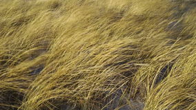 Yellow grass during a storm on the beach stock video footage