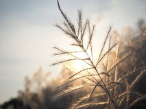 Yellow grass sunset. Flower grass with warm sun Royalty Free Stock Image