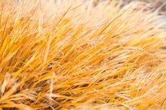 Yellow grass texture Royalty Free Stock Photo