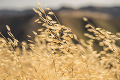 Yellow Grass in Wind Stock Photo