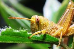 Yellow Grasshopper. A photo taken on a yellow grasshopper feeding at a garden Stock Photos