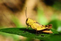 Yellow grasshopper Stock Image