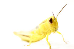 Yellow grasshopper isolated on white Royalty Free Stock Image