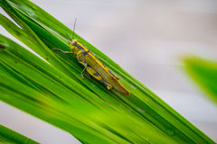 Yellow Grasshopper. Resting in the early morning Royalty Free Stock Photography