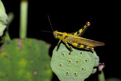 Yellow Grasshopper sits on a green flower Stock Photography