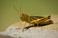 Yellow grasshopper sitting in the sun Royalty Free Stock Images