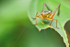 Yellow Grasshopper Sunbathing on a Leaf. Yellow Grasshopper on a leaf under a diffuse sun Royalty Free Stock Photo