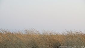 Yellow grassland against white skyline. Screensaver royalty free stock photos