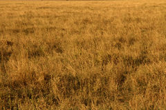 Yellow Grasslands. In Serengeti National Park, Tanzania, Africa royalty free stock image