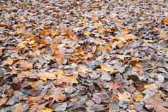 Yellow and gray autumnal fallen leaves Stock Photos