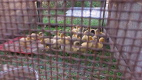 Yellow and gray ducks walk on the paddock. A small corral made from mesh. stock video