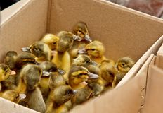 Yellow and gray little broiler baby ducklings with down on the body sit in a cardboard box close-up top view. newborn duck chicks.  royalty free stock image