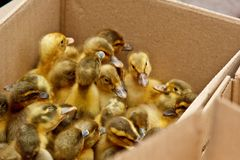 Yellow and gray little broiler baby ducklings with down on the body sit in a cardboard box close-up top view. newborn duck chicks.  stock photos