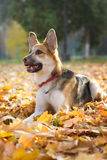 Yellow and gray male  crossbreed dog in a red collar. Yellow and gray male Royalty Free Stock Photography