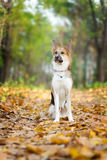 Yellow and gray male crossbreed dog is sitting in the autumn leaves Royalty Free Stock Photography