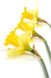 Yellow greate plants. Daffodil yellow greate plants (spring concept Stock Photos