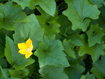 Yellow in Green. Green pumpkin leaves with a yellow pumpkin flower Stock Image