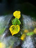 Yellow green alder leaves in rapid stream. Detail of rotten alder leaf stock photos