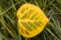 Yellow-green Aspen Leaf Royalty Free Stock Image