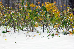 Yellow and green autumn bushes covered with snow Royalty Free Stock Photo