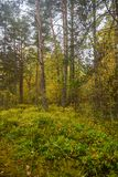 Yellow Green Autumn Forest Backdrop Royalty Free Stock Photo