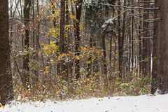 Yellow and green autumn forest covered with snow Royalty Free Stock Images