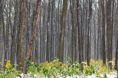 Yellow and green autumn forest covered with snow Stock Image