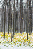 Yellow and green autumn forest covered with snow Stock Images