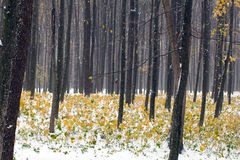 Yellow and green autumn forest covered with snow Stock Photos