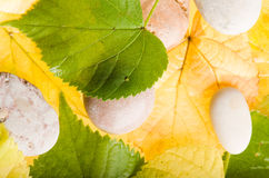 Yellow and green autumn  leaves Stock Images