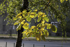 Yellow and green autumn leaves. A branch with yellow and green leaves illuminated by sunlight (Prophoto RGB Royalty Free Stock Photo