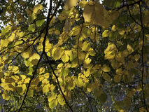 Yellow and green autumn leaves. Branches full of yellow and green leaves illuminated by sunlight (Prophoto RGB Stock Image